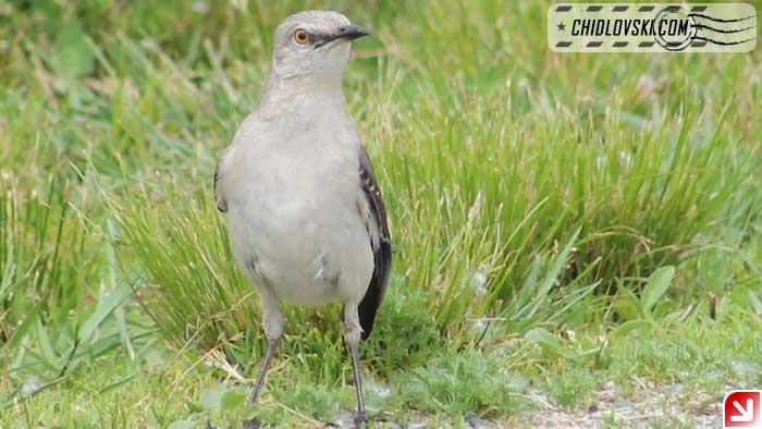 mockingbird-16007