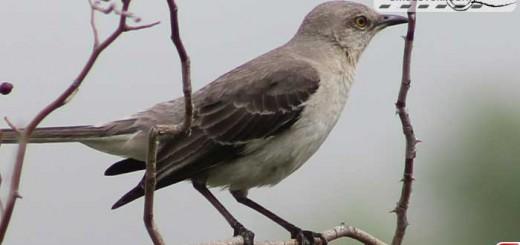 mockingbird-16008