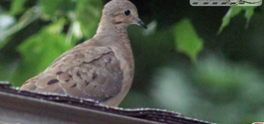 mourning-dove-16002