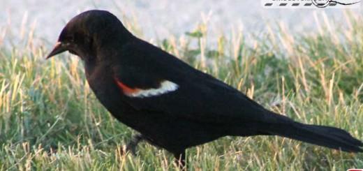 red-winger-16006