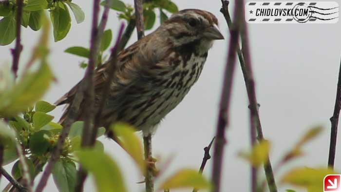 song-sparrow-16004