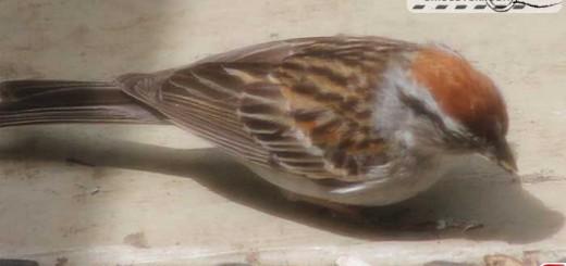 sparrow-16001