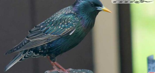starling-16002