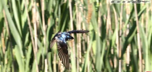 tree-swallow-16002
