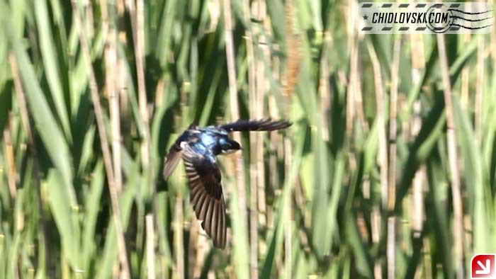tree-swallow-16002