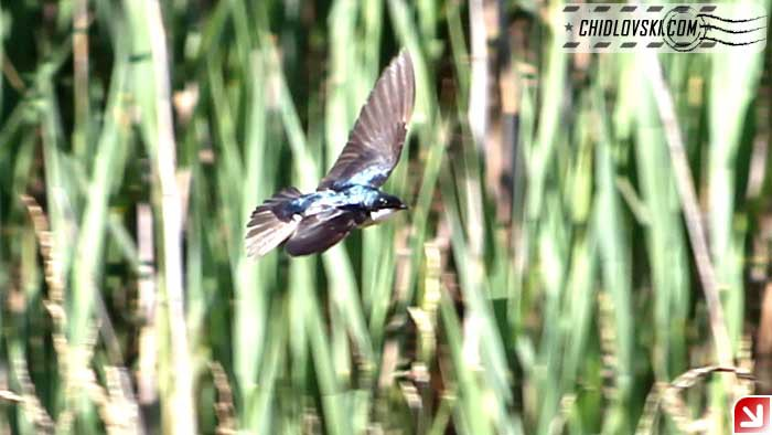 tree-swallow-16004