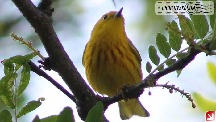 yellow-warbler-16002
