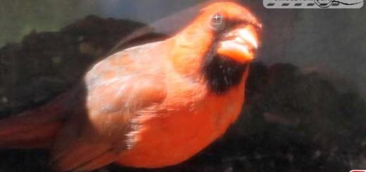 cardinal-16012