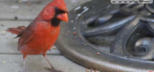 cardinal-16013