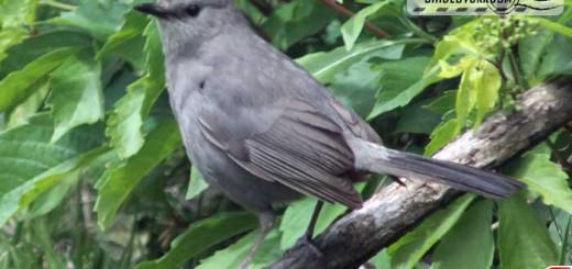 catbird-16005