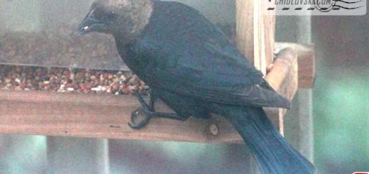 cowbird-16001