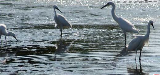 egret-16005