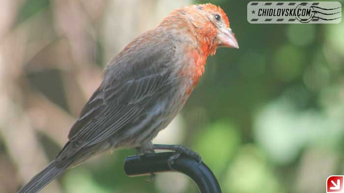 finches-16009
