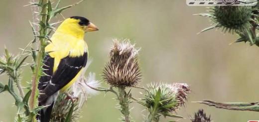 goldfinch-16008