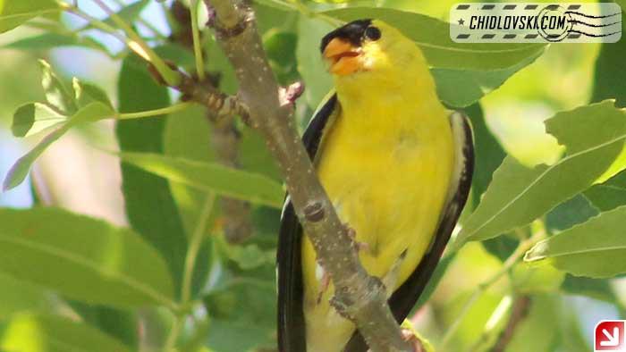 goldfinch-16009