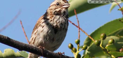 sparrow-16004