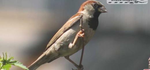 sparrow-16005