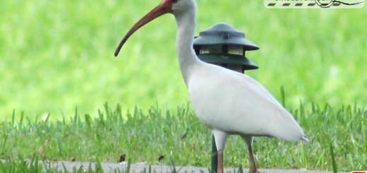 white-ibis-16001