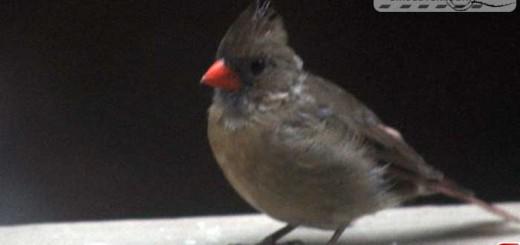 cardinal-16015