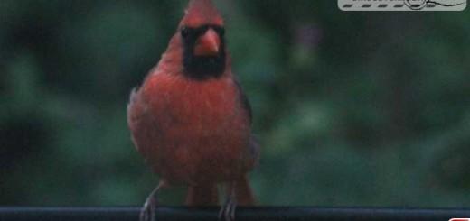 cardinal-16016