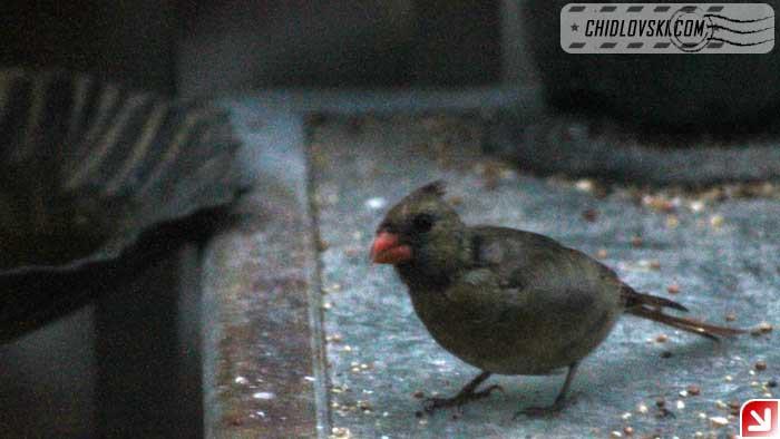 cardinal-16017