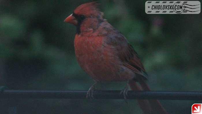 cardinal-16018