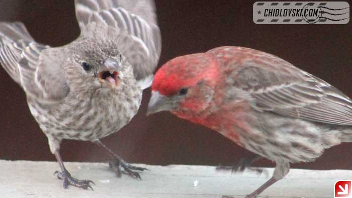 finches-16016