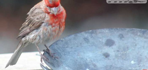 finches-16017