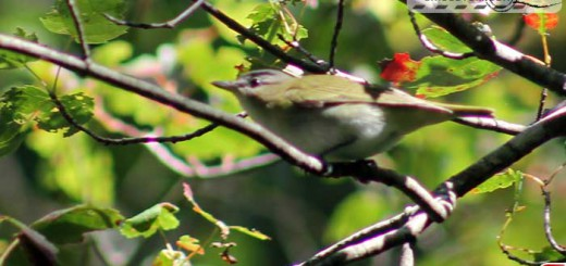 red-eyed-vireo-16001