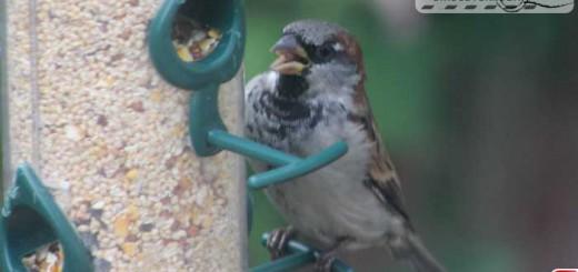 sparrow-16006