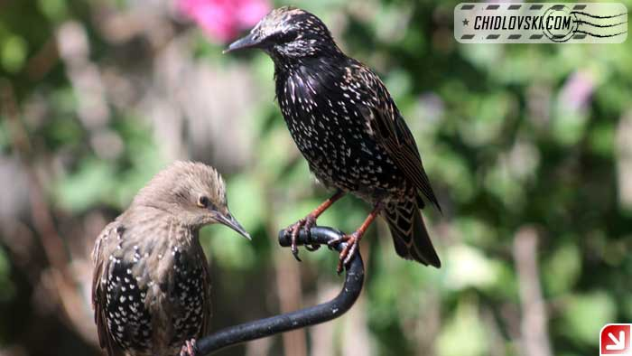 starlings-16004