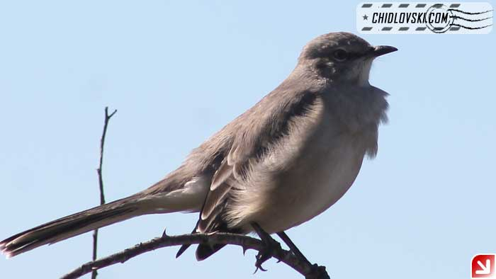 mockingbird-16010