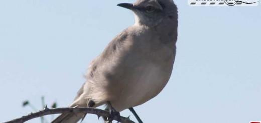 mockingbird-16011