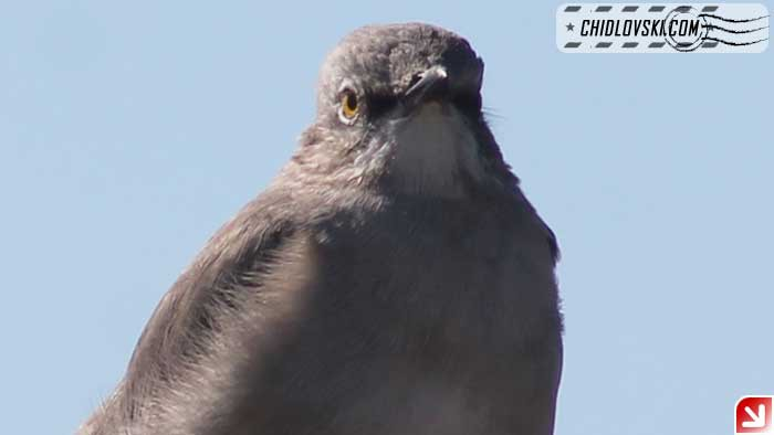 mockingbird-16012