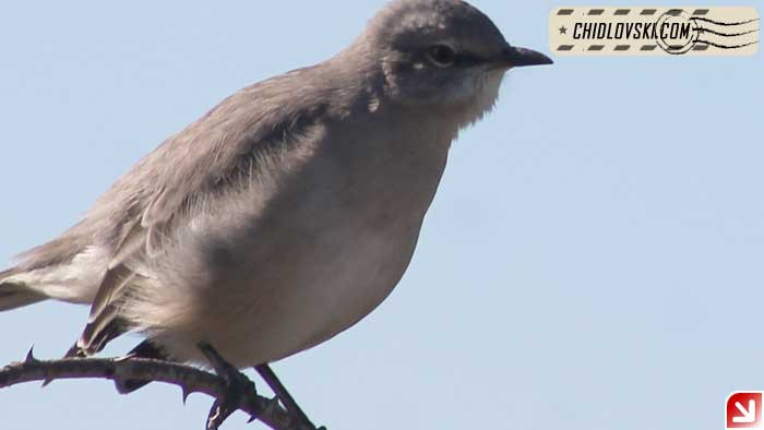 mockingbird-16013