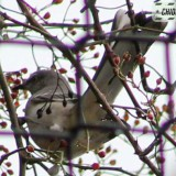 mockingbird-16014