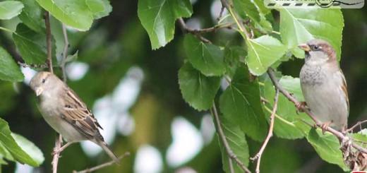 sparrow-16007