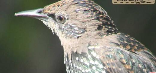 starlings-16005