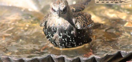 starlings-16006