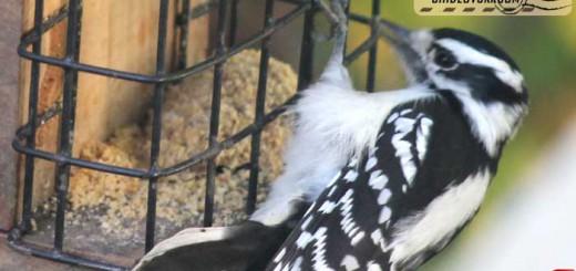 woodpecker-16002