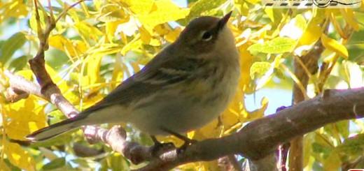 yellow-bellied-flycatcher-1