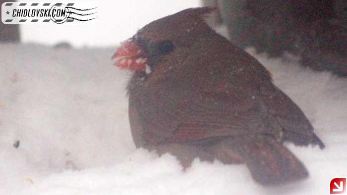 cardinal-17001