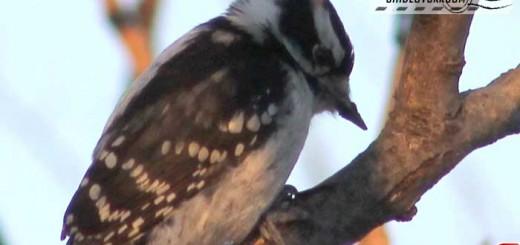 woodpecker-17001