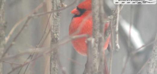 cardinal-17003
