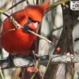 cardinal-17004