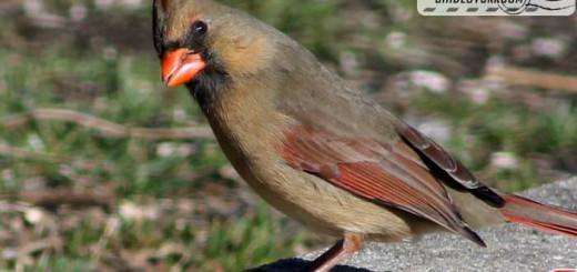 cardinal-17005