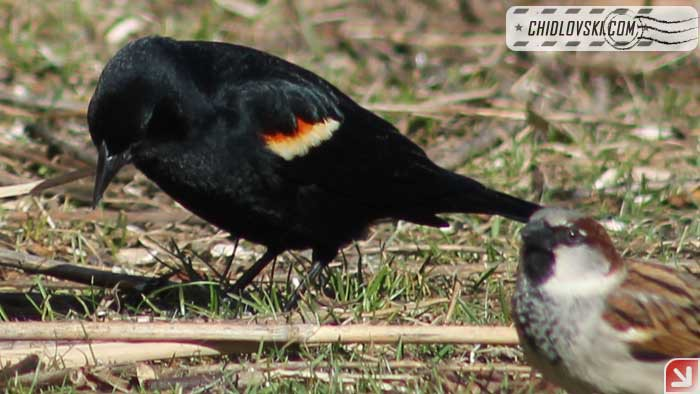 redwingbird-17001