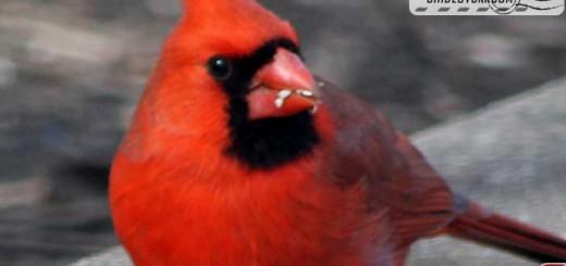 cardinal-17007