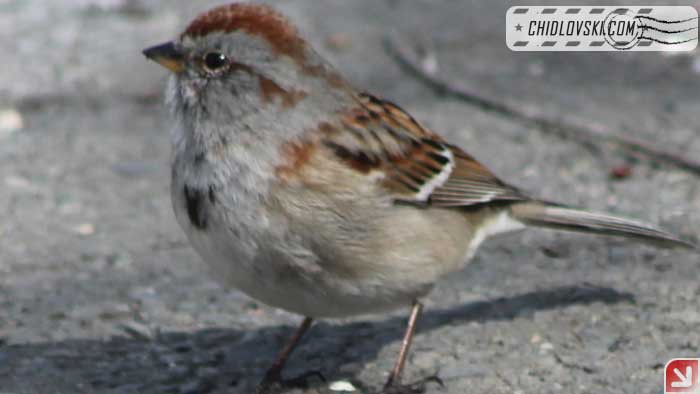 tree-sparrow-17001