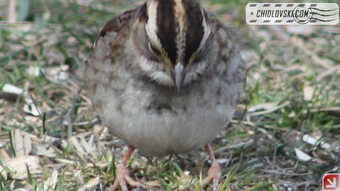white-throated-sparrow-17001